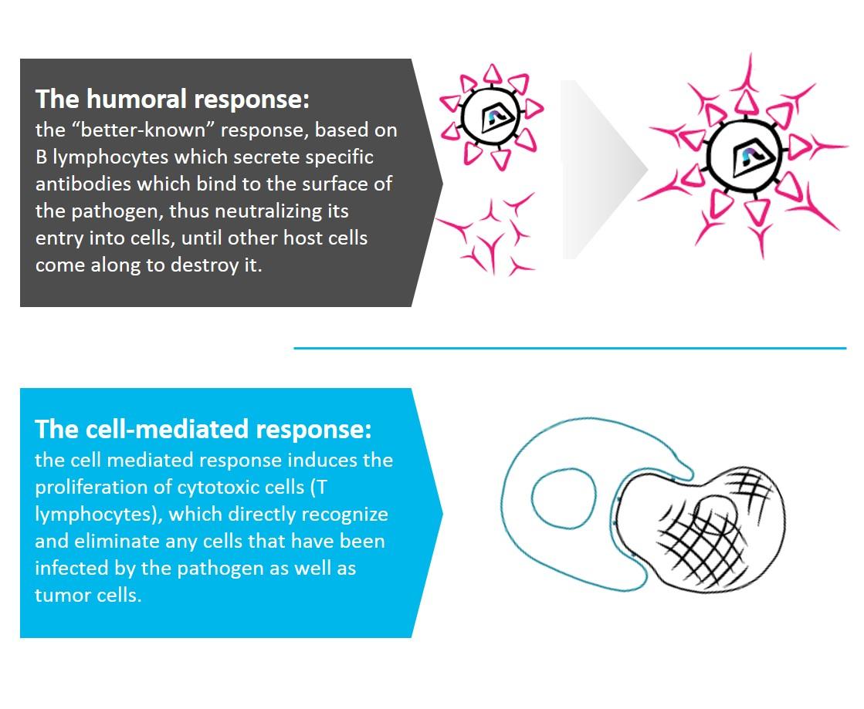 Humoral vs Cellular Response